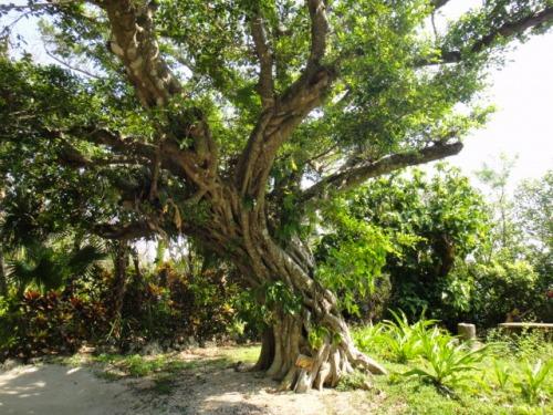 沖縄の大木に宿るエネルギーを、是非体感してください~沖縄の大木と、そこに住まう小さな精霊(後編)