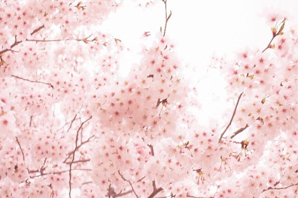 桜の花は、「冬」があるから開花する