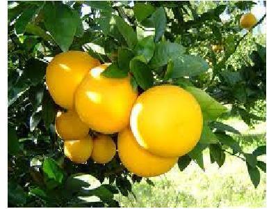 【植物のチカラで美しく♪豊かに♪】知っておきたい柑橘類の精油でのスキンケア
