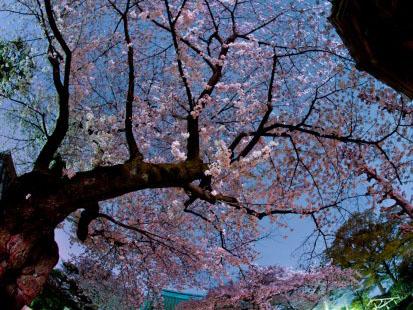 お花見でアンチエイジング!?桜の持つパワー