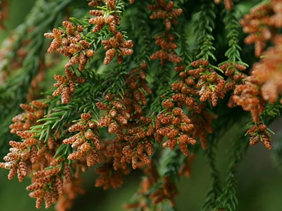 恐れるな、花粉!立ち向かえ、グリーンで! ~グリーンの癒しで花粉症対策~