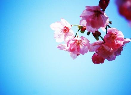 日本文化とお花見~日本人の心を優しく鮮やかに彩る桜色の絶大なパワー