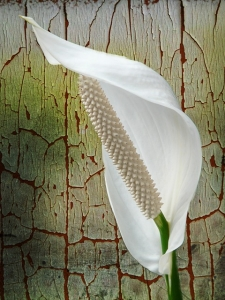 観葉植物(スパティフィラム)