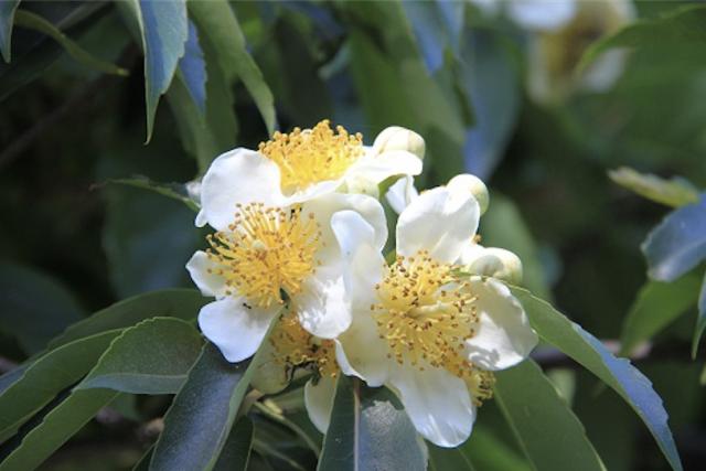 南国沖縄の植物 イジュに秘められたパワーとは!?