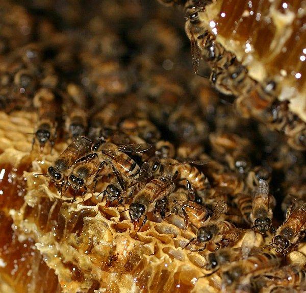 ハチミツは花のオージャス