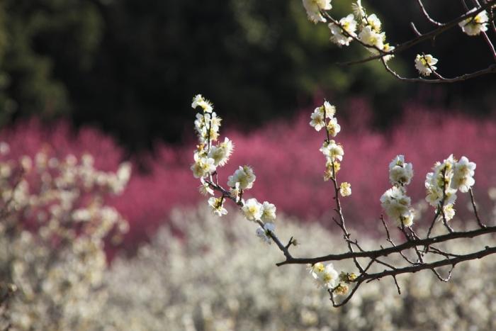 古代日本人が憧れた霊力を秘めた花〜梅