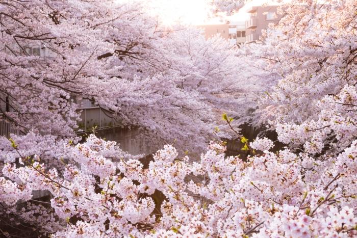 桜の季節が近づいてきました〜桜に関係するパワースポットにいってみませんか?