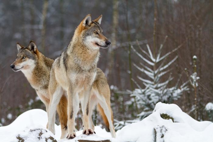 深い愛情を持ち、大自然と共に生きる狼が与える癒し