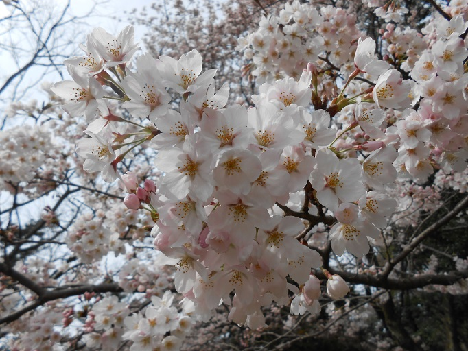 まるで大きな白い雪山? 豊穣の神の依代☆桜
