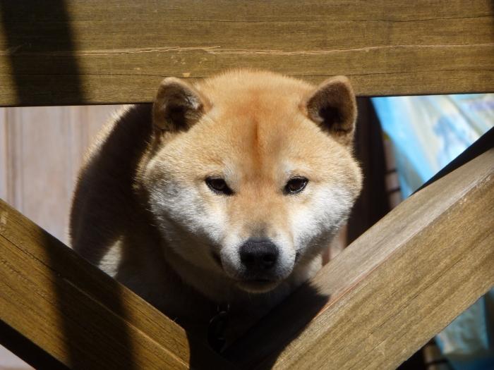 甘えん坊でツンデレ♪  隣の家の柴犬コロ(♂)&マル(♀)