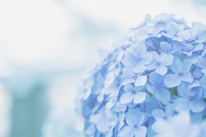 梅雨の風物詩「紫陽花」。実は幸運を招き魔を退ける力があるって知ってました?