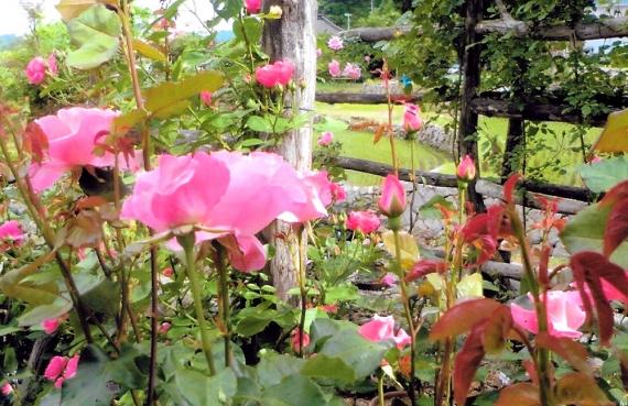 薔薇3(1)