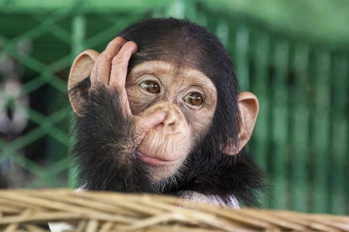 あなたのダイエット成功する?【後編】<br> 〜人間の食生活のお手本はチンパンジー?