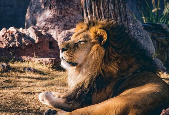 lion-1211424_960_720