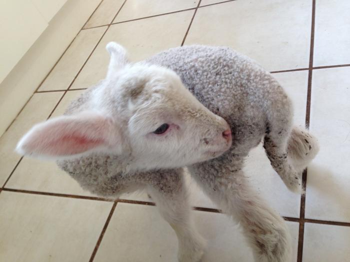 【オーストラリア体験記】牧場と子羊ロビー物語  息子がくれた〝愛〟 Part.1