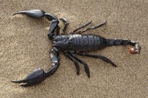 scorpion-651142_960_720